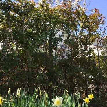銀太の水仙❀と…北国に春を告げるこぶし❀咲いたよ♪ どんな時にも春はやってくる♫