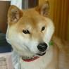 人懐っこく散歩大好き・元気な柴犬・室内飼い・