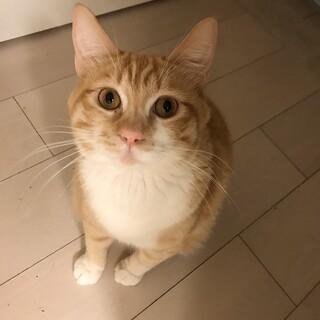 まんまるお目目のトラ猫ちゃん、無料譲渡