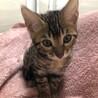ベンガルの子猫の里親さんを募集しています