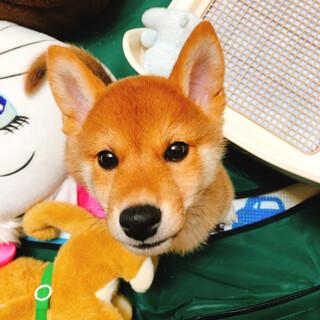 3ヶ月の血統書付きの柴犬です!