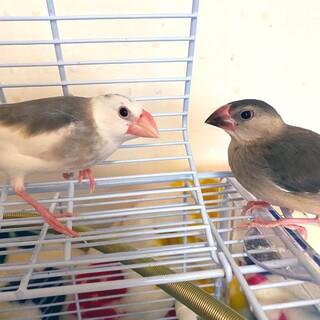 文鳥 2羽の里親募集 白文鳥&並文鳥
