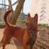 赤琉球犬MIX?