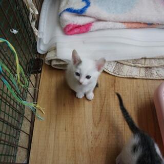 白い子猫です