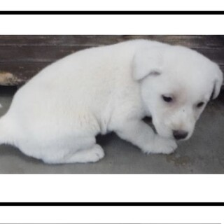 里親様に迎えられました。子犬♀002