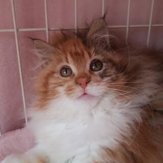 超甘えんぼな可愛いメインクーン子猫♪春ちゃん☆