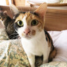 人懐っこい、甘えん坊、母性が強い 2歳三毛猫♀