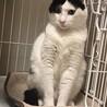 3歳7ヶ月 ふわふわ白黒はちわれ猫 ヒカルくん