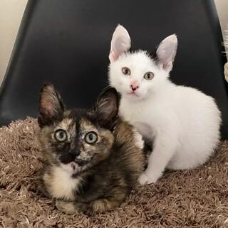 サビー&ハチー姉妹猫 2か月