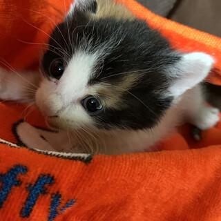 三毛の子猫(女の子)の里親さんを捜しています。