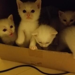 生後1ヶ月の可愛い白猫5匹