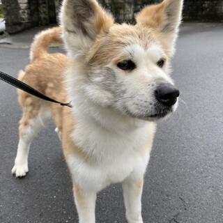 秋田犬のサラちゃん