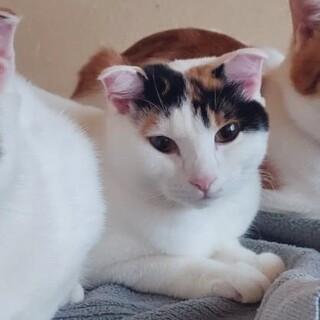 スコ混じりの折れ耳美人猫ちゃん