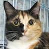 くりくりお目目と短めソックス!まだら三毛猫ちゃん