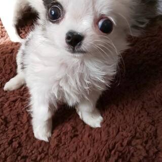 チワワ子犬*ミル(水頭症)