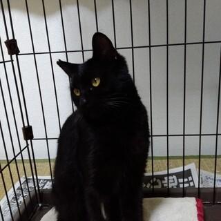 寂しがりのおっとり艶々黒猫ちゃん!