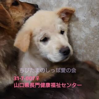 可愛い垂れ耳子犬ちゃん♀④♡処分対象です。。