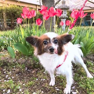 パピヨン6~8歳★アラレちゃん 繁殖引退犬