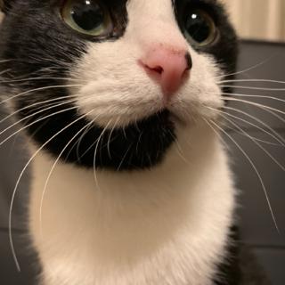 (里親決定)社交的な優しいハチワレ猫♡