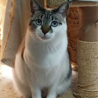 ◎ブルーの目、可愛い猫ちゃん