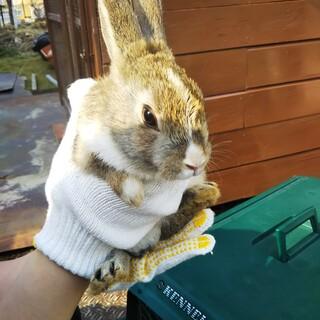 子ウサギ里親募集