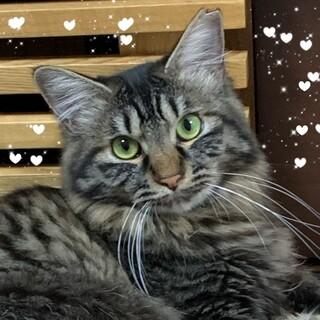 猫好き☆キジ長毛美人のかなえちゃん2歳