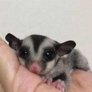 フクロモモンガ 女の子 赤ちゃん