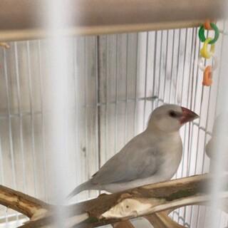 2020年1月生まれのシルバー文鳥です。