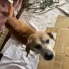 ビーグルmixのシニア犬 性格良い子 余生を幸せに サムネイル6