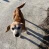 ビーグルmixのシニア犬 性格良い子 余生を幸せに サムネイル7