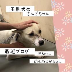 倉敷のママ野犬さんごちゃんの応援歌2→譲渡決定!