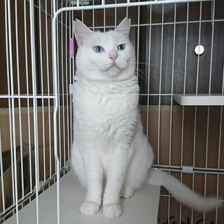 白猫のしろ雪♀の里親募集中