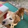 ビーグルmixのシニア犬 性格良い子 余生を幸せに サムネイル3