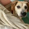 ビーグルmixのシニア犬 性格良い子 余生を幸せに サムネイル4