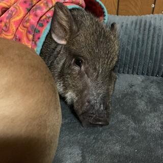 生後4ヶ月ウリボーみたいなミニブタさん