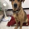 大型犬『リキ』8歳くらい サムネイル2