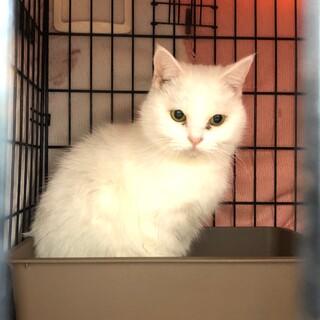 【真っ白な美人猫】の第2の飼い主になりませんか!!