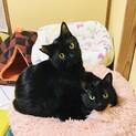 ネコ大好き❤心と体が大きい黒猫♂くぅぴぃ
