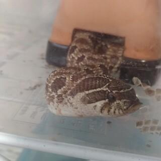 セイブシシバナヘビ(メス)