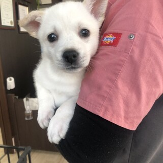 プルル君 2ケ月 MIX子犬 男の子