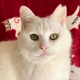 ふわふわ白猫マシュマロちゃん