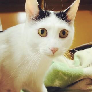 歌川国芳の日本猫☆ 八雲くん2歳