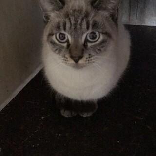シャム猫MIX、1歳の女の子です!!