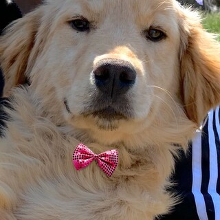 20-M263 可愛いゴールデン仔犬