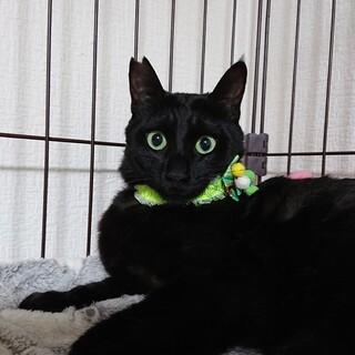 大柄、黒猫、宝石の目、カイトくん