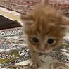 茶長毛赤ちゃん猫優しい家族決定