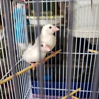 生後約2ヶ月の白文鳥2羽です