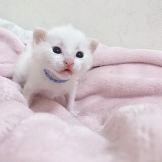 ①子猫の男の子・たいちゃんブルー