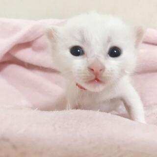 ②子猫の女の子・ゆっきーレッド
