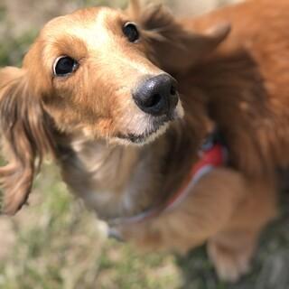 ミニチュアダックスのシニア犬です。